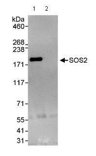 Immunoprecipitation - Anti-SOS2 antibody (ab85831)