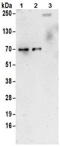 Western blot - Anti-Cyclin K antibody (ab85854)