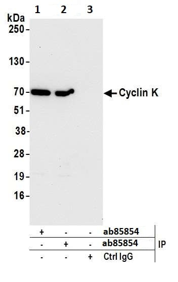 Immunoprecipitation - Anti-Cyclin K antibody (ab85854)