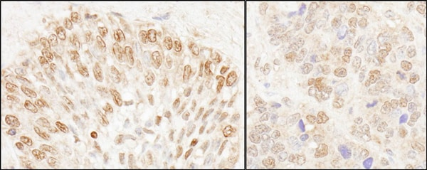 Immunohistochemistry (Formalin/PFA-fixed paraffin-embedded sections) - Anti-NUP50 antibody (ab85915)