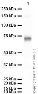 Western blot - Anti-CD105 antibody (ab85956)