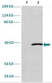 Western blot - Anti-EMX2 antibody (ab86004)