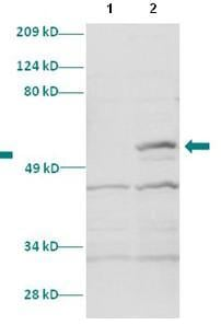 Western blot - Anti-HOXC11 antibody (ab86013)