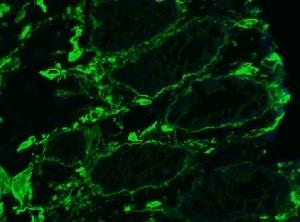 Immunohistochemistry (Frozen sections) - Anti-Collagen IV antibody [1043] (ab86042)