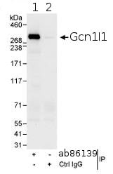 Immunoprecipitation - Anti-GCN1 antibody (ab86139)