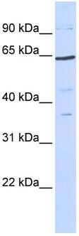 Western blot - Anti-TCF7L1 antibody (ab86175)