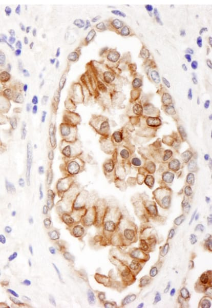 Immunohistochemistry (Formalin/PFA-fixed paraffin-embedded sections) - Anti-PGP9 antibody (ab86222)