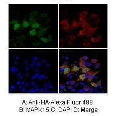 Immunocytochemistry/ Immunofluorescence - Anti-ERK-8 antibody (ab86275)