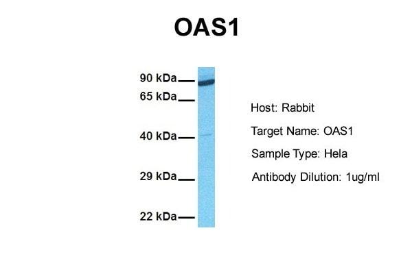 Western blot - Anti-OAS1 antibody (ab86343)