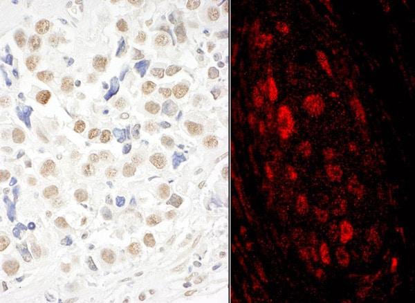 Immunohistochemistry (Formalin/PFA-fixed paraffin-embedded sections) - Anti-GWL antibody (ab86387)