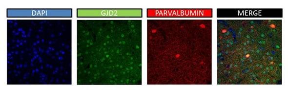 Immunohistochemistry (PFA perfusion fixed frozen sections) - Anti-Cx36 antibody (ab86408)