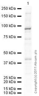 Western blot - Anti-STAT3 (phospho S727) antibody (ab86430)