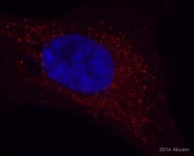 Immunocytochemistry/ Immunofluorescence - Anti-GABARAPL1 antibody (ab86497)
