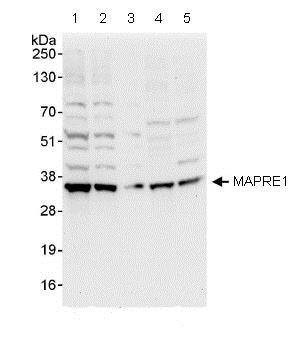 Western blot - Anti-MAPRE1/EB1 antibody (ab86598)