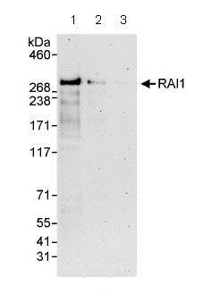 Western blot - Anti-RAI1 antibody (ab86599)