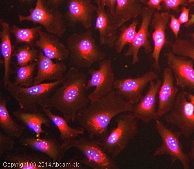 Immunocytochemistry/ Immunofluorescence - Anti-Nucleophosmin antibody [3A9F1] (ab86712)