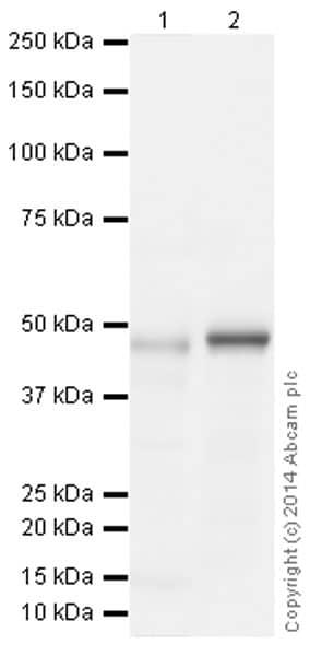 Western blot - Anti-Hsp47 antibody [134CT7.1.8] (ab86750)