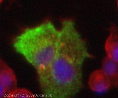Immunocytochemistry/ Immunofluorescence - Anti-Glucose 6 phosphate isomerase antibody (ab86950)