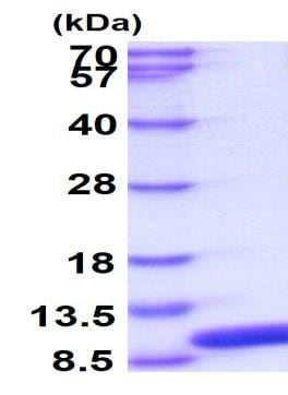 SDS-PAGE - Recombinant Human Glutaredoxin 1 protein (ab86987)