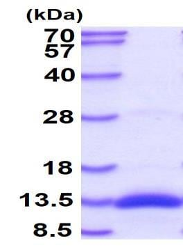 SDS-PAGE - Recombinant Human BMP2 protein (ab87065)