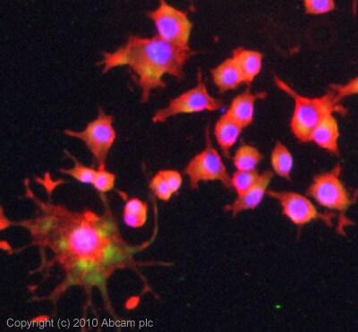 Immunocytochemistry/ Immunofluorescence - Anti-Aldolase C antibody - Astrocyte Marker (ab87122)