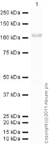 Western blot - Recombinant Human GRP94 protein (ab87144)