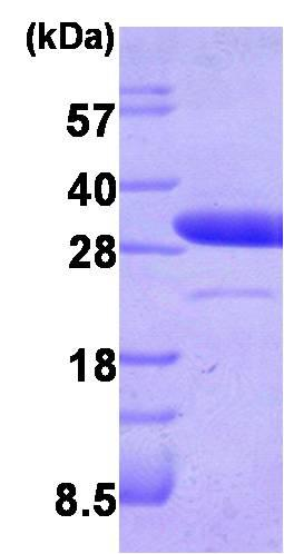 SDS-PAGE - Recombinant Human LXN/TCI protein (ab87145)