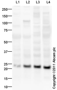 Western blot - Anti-Prokineticin 2/PK2 antibody (ab87360)
