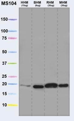 Western blot - Anti-Ndufs4 antibody [2C7CD4AG3] (ab87399)