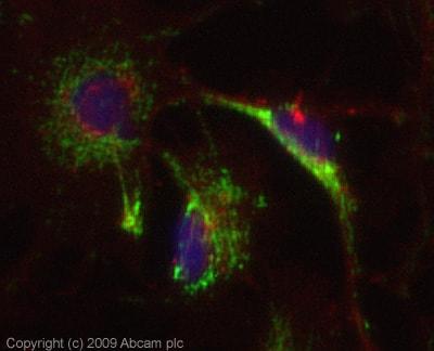 Immunocytochemistry/ Immunofluorescence - Anti-C4d antibody (ab87424)