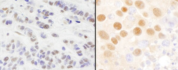 Immunohistochemistry (Formalin/PFA-fixed paraffin-embedded sections) - Anti-GATAD2A antibody (ab87663)