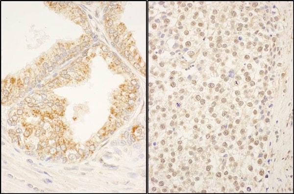 Immunohistochemistry (Formalin/PFA-fixed paraffin-embedded sections) - Anti-FBXO38 antibody (ab87729)