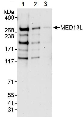 Western blot - Anti-MED13L antibody (ab87831)
