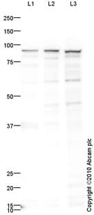 Western blot - Anti-Ku80 antibody (ab87860)