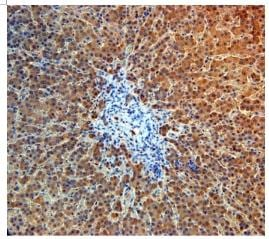 Immunohistochemistry (Formalin/PFA-fixed paraffin-embedded sections) - Anti-Angiopoietin 4 antibody (ab87877)