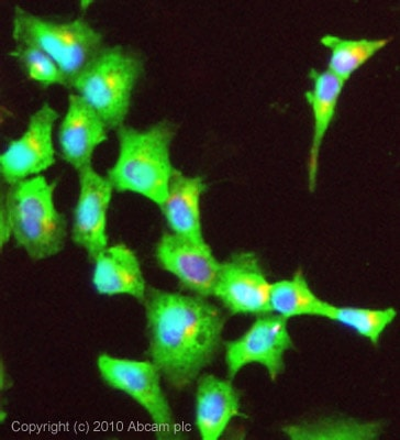 Immunocytochemistry/ Immunofluorescence - Anti-Non Neuronal Enolase antibody (ab87925)