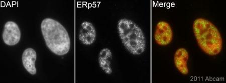 Immunocytochemistry/ Immunofluorescence - Anti-ERp57 antibody (ab88098)