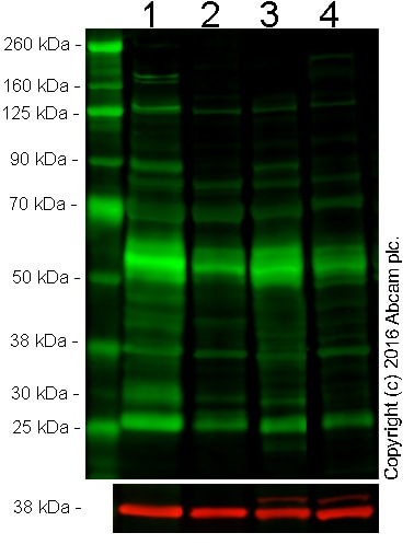 Western blot - Anti-Collagen I antibody [3G3] (ab88147)