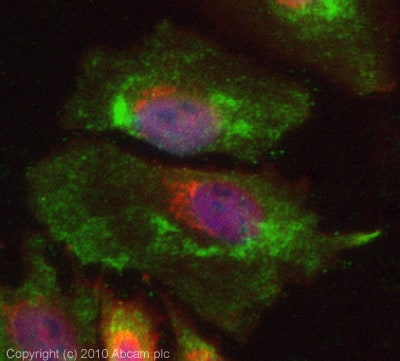 Immunocytochemistry/ Immunofluorescence - Anti-PTRF antibody (ab88213)