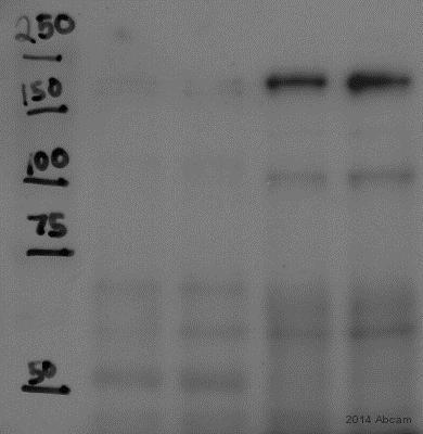 Western blot - Anti-IQGAP3 antibody (ab88353)