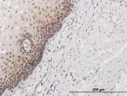 Immunohistochemistry (Formalin/PFA-fixed paraffin-embedded sections) - Anti-HSPC111 antibody (ab88449)