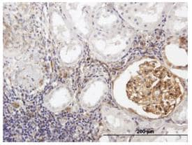Immunohistochemistry (Formalin/PFA-fixed paraffin-embedded sections) - Anti-BST2/Tetherin antibody (ab88523)