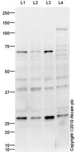 Western blot - Anti-KLF13 antibody (ab88536)