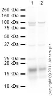 Western blot - Anti-Histone H2A antibody - ChIP Grade (ab88770)