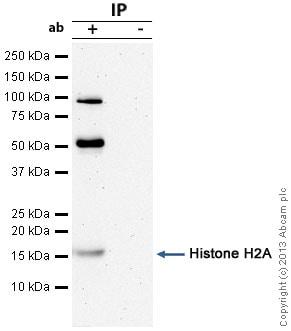 Immunoprecipitation - Anti-Histone H2A antibody - ChIP Grade (ab88770)