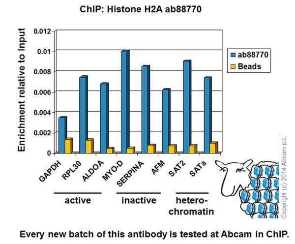 ChIP - Anti-Histone H2A antibody - ChIP Grade (ab88770)