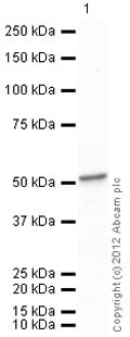 Western blot - Recombinant Human ENO1 protein (ab89248)