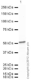 Western blot - Recombinant Human ENO1 protein (ab89248)