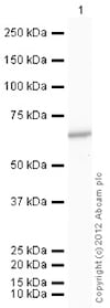 Western blot - Recombinant human PKM2 protein (ab89364)