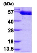 SDS-PAGE - Recombinant human PKM2 protein (ab89364)